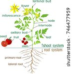 parts of plant. morphology of... | Shutterstock .eps vector #746477959