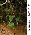 Small photo of anthurium hanging over the creek, eldorado, sp, brazil