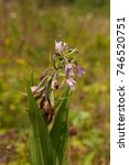 marsh helleborine flower in a... | Shutterstock . vector #746520751