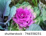 Small photo of Brassica oleracea or acephala. Ornamental kale. Flowering decorative purple-pink cabbage plant and the first snow with hail. Natural vivid background