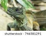 Small photo of Amboina Sail Finned Lizard