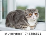 scottish fold cat breed with...   Shutterstock . vector #746586811