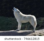 Howling Arctic Wolf  Canis...
