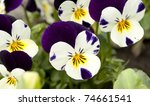 Pansy Tricolored Flower  ...