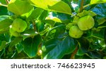 Young Green Small Persimmon On...