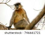 Small photo of Capped Langur (Trachypithecus pileatus), Manas National Park, Assam, India.