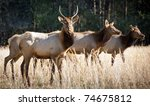 Elk Wildlife Photography in Great Smoky Mountains National Park Cataloochee Valley - stock photo