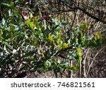 Small photo of Acacia cultriformis, the knife-leaf , dogtooth , half-moon wattle or golden-glow wattle, is a perennial tree or shrub of genus Acacia native to Australia growing in Big Swamp,Bunbury, West Australia.