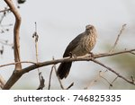 Arrowmarked Babbler On A Branch.