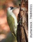 Small photo of The European green woodpecker (Picus virdis)