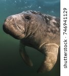 Small photo of 'Manatee Portrait' This manatee swam up to within a few inches of my camera for this portrait. Although peaceful they are also massive and when they are this close their presence is overwhelming!