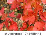 close up of real red maple... | Shutterstock . vector #746988445