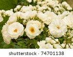 Stock photo bush of white roses 74701138