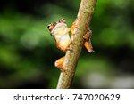 java tree frog is endemic frog...   Shutterstock . vector #747020629