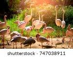 flamingo group is watching in... | Shutterstock . vector #747038911