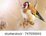 wild colored bird in the winter'... | Shutterstock . vector #747050041
