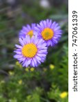 Small photo of Aster alpinus (Alpine aster), blossoms