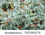 Small photo of Alternanthera sessilis green ans white plant in garden
