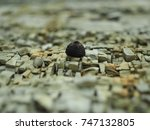 Small photo of Acorn cup on the rocks