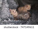 Stock photo three british kittens british kittens are lying and dreaming british kittens are together 747149611