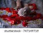 Stock photo british kitten in new year s toys british kitten new year s gift the sweetest new year s gift 747149719