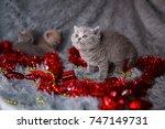 Stock photo british beautiful kittens beautiful kitten british kittens new year s british kittens british 747149731