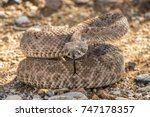 Wild Rattlesnake Coiled Up in Striking Defensive Position in Arizona Desert