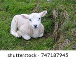Newborn Lamb Rests In Grass