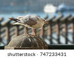 Screaming Young Seagull With...