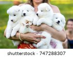 Stock photo funny puppies of samoyed dog or bjelkier 747288307