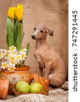 the portrait of a dog of breed... | Shutterstock . vector #747291445