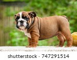 Stock photo bulldog puppy in the open air 747291514