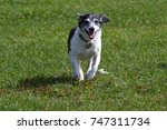 mixed breed dog running | Shutterstock . vector #747311734