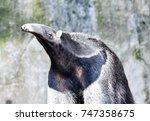 anteater closeup portrait | Shutterstock . vector #747358675