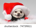 Funny White Chihuahua Wearing...