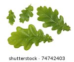 green leaves of oak tree - stock photo