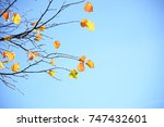 various colours of maple leaves ... | Shutterstock . vector #747432601