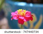 pink and yellow zinnia flower...   Shutterstock . vector #747440734