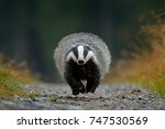 flying mammal. badger in forest ... | Shutterstock . vector #747530569