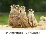 Meerkats All Sit Together And...