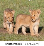 Two Young Lion Cubs. Part Of...