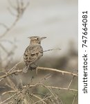 Small photo of Crested lark wandering in the bushes .