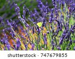 Butterfly Stopped By Lavender...