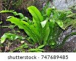 hart's tongue  asplenium... | Shutterstock . vector #747689485