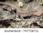italian wall lizard   podarcis ... | Shutterstock . vector #747718711