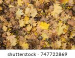 Small photo of Photo closeup of autumn colorful yellow golden thick blanket of fallen dry maple leaves on ground deciduous abscission period over forest leaf litter background, picture
