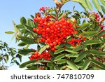 Small photo of Dog berries hanging from the branches of a Dogberry tree (American Mountain Ash), St. John's, Newfoundland and Labrador.