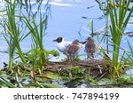 mama is a gull and its... | Shutterstock . vector #747894199