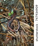 Small photo of salamander, new york state, adirondacks