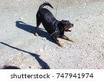 rottweiler barking at someone...   Shutterstock . vector #747941974